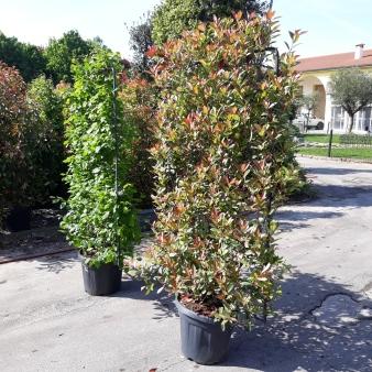 5 carpinus e photinya spaliera